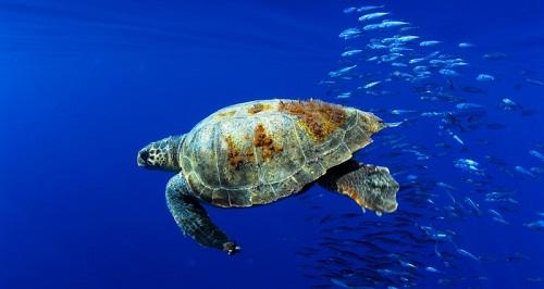 OCEANA Juan Cuetos (Tortuga Boba)_tcm7-265517_noticia